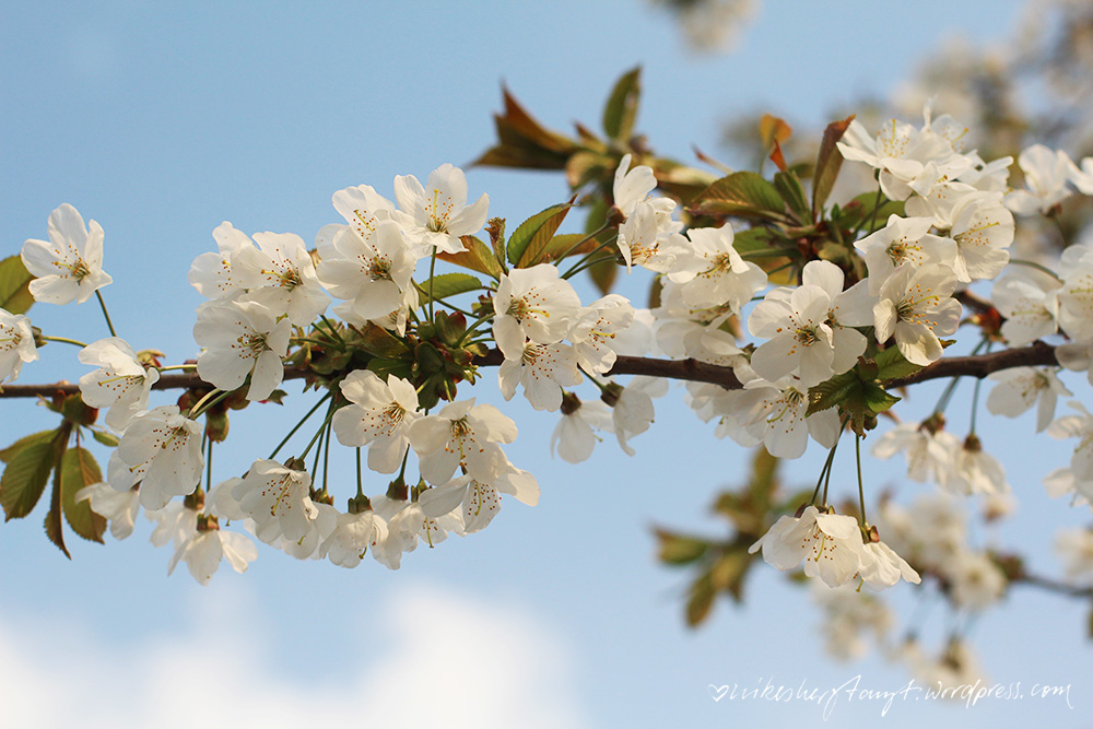 foto der woche für fee & juli, kirschblüten, abends am kanal, abendspaziergang, himmelblau