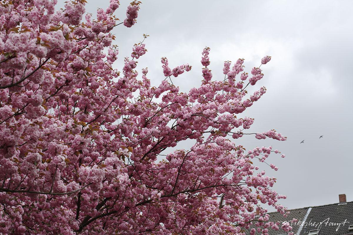kirschblüten, krefeld, #nikeskrefeld, alexanderplatz, kirschblütenfest, nikesherztanzt