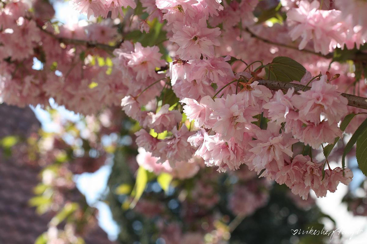 kirschblüten,himmelblau & sonne satt vor dem mövenpick hotel in münster am aasee