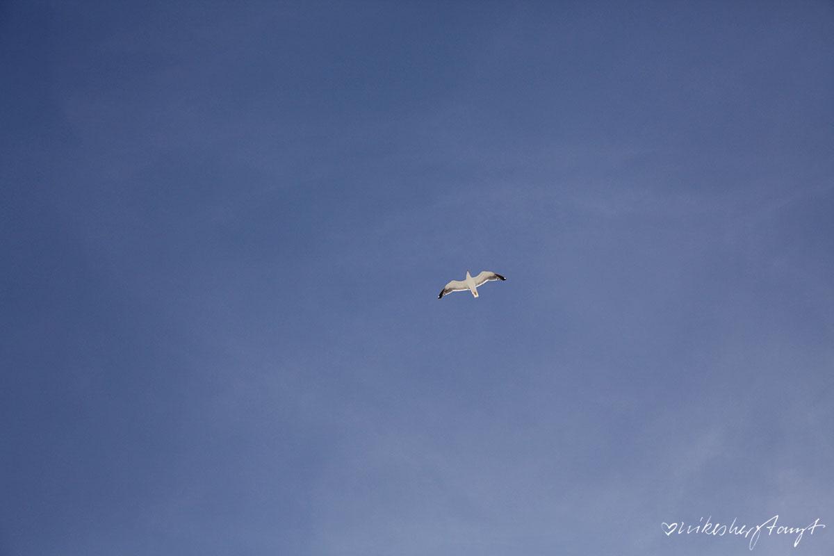 möwe am blauen nordfriesischen himmel über amrumer kniepstrand.