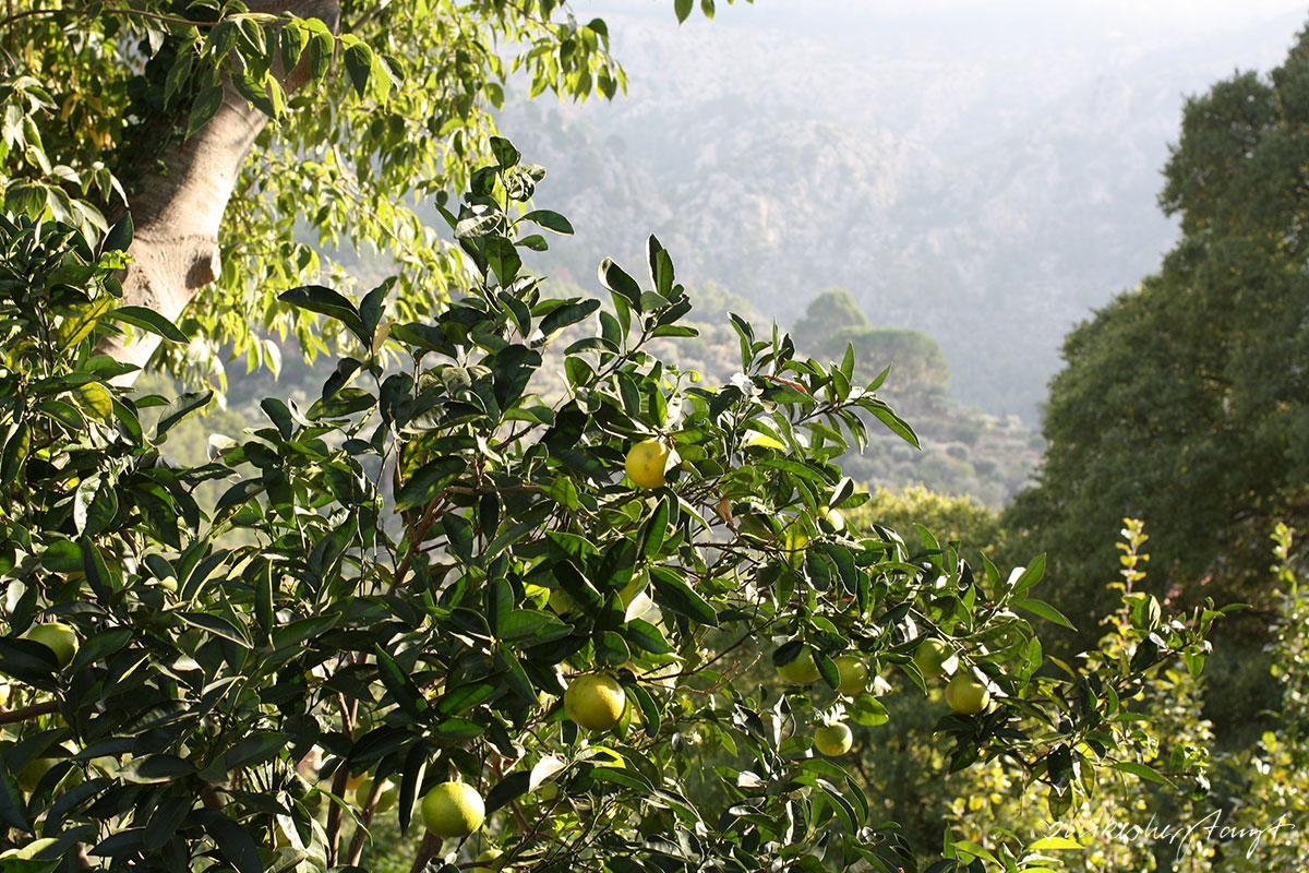coca de pimientos, coca mit paprikaschoten, blechkuchen, snack, spanien, mallorca, feta a soller, ecovinyassa sollér auf mallorca - orangen und zitronen aus ökologischem anbau, nikesherztanzt, blog