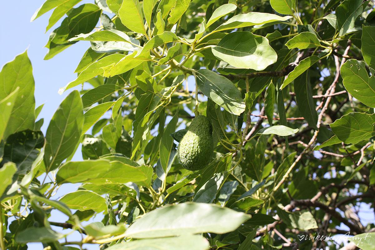 Avocado Baum auf der Zitrusplantage Finca Ecovinyassa auf Mallorca, Fet a Sóller,