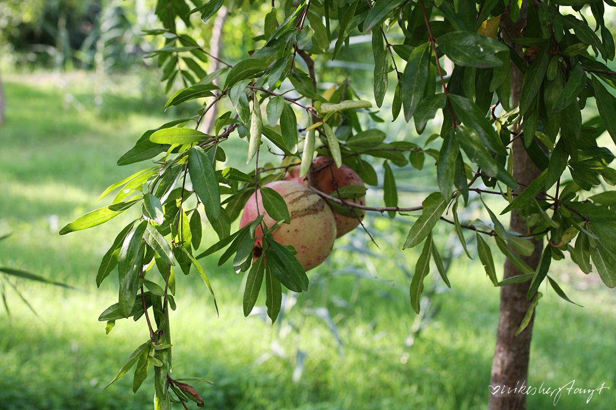 Granatapfel Baum auf der Zitrusplantage Finca Ecovinyassa auf Mallorca, Fet a Sóller,