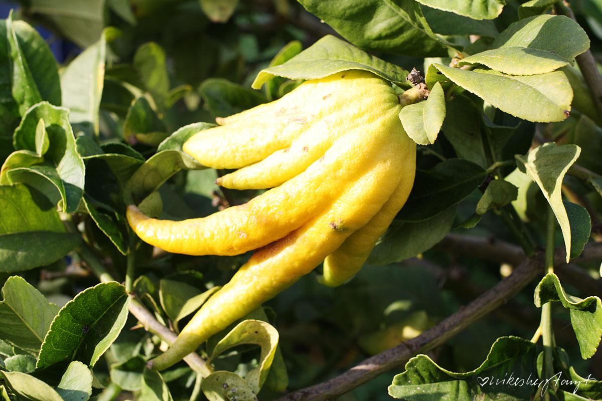 Die Hand Buddhas. Ursprüngliche Zitronenart auf der Zitrusplantage Finca Ecovinyassa auf Mallorca, Fet a Sóller,
