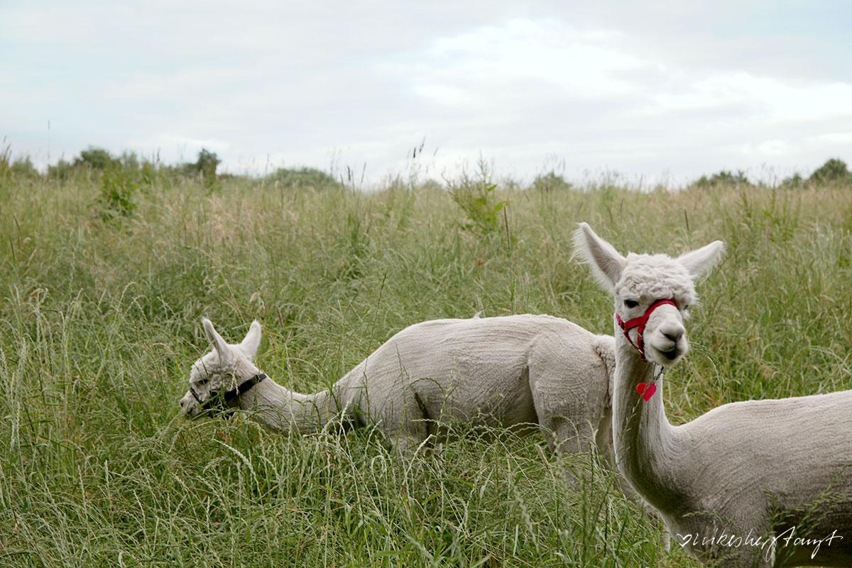daniels kleine farm. alpaka wandern im naturschutzgebiet wagenbruch in castrop-rauxel. // nikesherztanzt